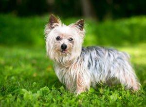 yorkshire-terrier-im-grass-768x567